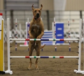Indy doing agility at 2013 nationals